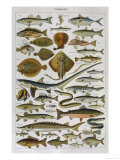 An Assortment of Fish Giclée-Druck