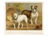 Two Bulldogs One White the Other Brindle and White Giclee Print