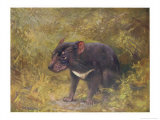 Tasmanian Devil (Sarcophilus Ursinus) a Carnivorous Marsupial Found Only in Tasmania Reproduction proc&#233;d&#233; gicl&#233;e par Cuthbert Swan
