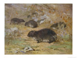 The Dassie or Hyrax Capensis Giclee Print by Cuthbert Swan