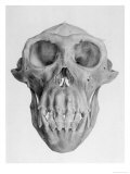 Skull of an Ape Reproduction procédé giclée