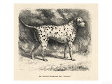 Mr. Fawdrys Dalmation Dog Captain Giclee Print