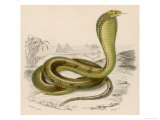 Egyptian or Brown Cobra Giclee Print