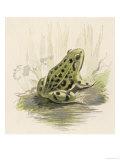 Edible Frog Giclee Print