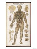 Physiological Diagram of the Organs of Circulation Giclee Print