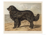 "Classic Newfoundland, Mr. S W Wildman's ""Leo"", Waits on a Sandy Shore Premium Giclee Print"