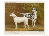 Dalmatian and a Bull Terrier Stand Side by Side Gazing at Something in the Distance Stampa giclée