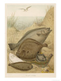 Group of Mixed Flat Fish: Halibut Turbot Flounder Plaice and Sole Giclee Print by P. J. Smit