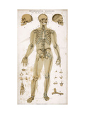 Physiological Diagram of the Skeleton and Ligaments Giclee Print