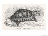 Tortoise Giclee Print by E. Vermorcken