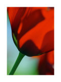 Tulipe IV Print by Marc Ayrault