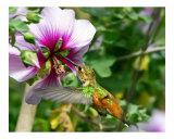 Hummingbird Photographic Print by EDDIE ROBERTS
