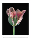 Tulipa China Town Prints by Derek Harris