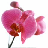Pink Orchid Plakater af Cdric Porchez