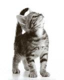 Curious Cat Plakat