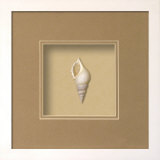 Baby Tibia Shell (Beachcomber Collection) Dimensional Product