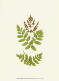 Woodland Ferns VII Prints by Edward Lowe