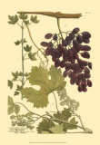 Grapes I Prints by Johann Wilhelm Weinmann