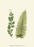 Woodland Ferns VI Poster by Edward Lowe