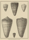 Shells on Khaki VII Prints by Denis Diderot