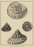 Shells on Khaki VIII Poster by Denis Diderot