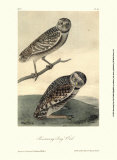 Burrowing Day Owl Posters by John James Audubon