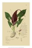 Aroid Plant IV Giclee Print by A. Descubes