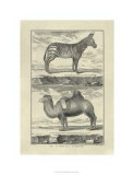 Zebra and Camel Premium Giclee Print by Denis Diderot