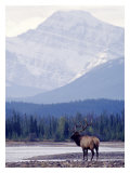 Moose Giclee Print by Ken Archer
