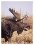 Moose Closeup Giclee Print by Ken Archer