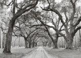 Jim Morris - Dubové klenby–stromořadí Obrazy