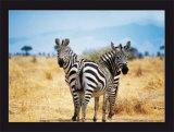 Le Zebre A Deux Tetes Posters by Pierre Douay