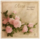 Rosa Centifolia Prints by Vincent Perriol