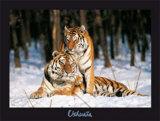 Tigres Prints by Gilles Santantonio