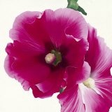 Pink Hollyhock I Posters by Stephanie Andrew