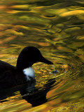 Fall Colors are Reflected in a Pond as a Duck Swims in Milan, Italy Photographic Print