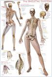 Le squelette Affiche