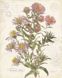 September Aster, Art Print