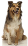 Collie Dog Stand Up
