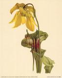 Sarracenia Flava Prints