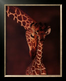 Giraffe Posters by Karl Amman