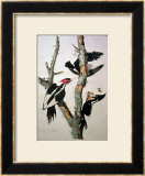 """Ivory-Billed Woodpecker, from """"Birds of America,"""" 1829 Posters by John James Audubon"""