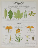 Plants and Leaves Teaching Chart Collectable Print by DEYROLLE 