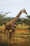 Giraffe and Baby Pósters