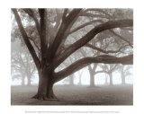 Oak Grove in Fog Plakaty autor William Guion