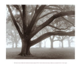 Oak Grove in Fog Posters by William Guion