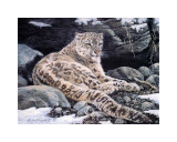 Awake Snow Leopard Art by Alan Sakhavarz