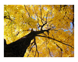 Golden Tree on an Autumn day in NYC Impressão giclée por New Yorkled