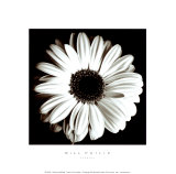 Gerbera Poster by Bill Philip