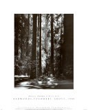 Redwoods, Founders Grove Posters por Ansel Adams